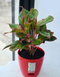 Plantech Home Garden Aglaonema Red Live Natural Plant with Self Watering Pot 5.5″
