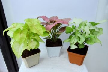 Natural Live Plant in Self Watering Pot, Qty: 3 (Plant with Pot)